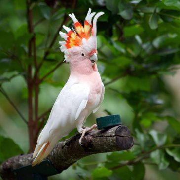 Какаду — красивейшие птицы, которые живут дольше человека