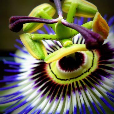 Фрукт с самым красивым цветком