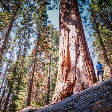 Самые высокие деревья на земле