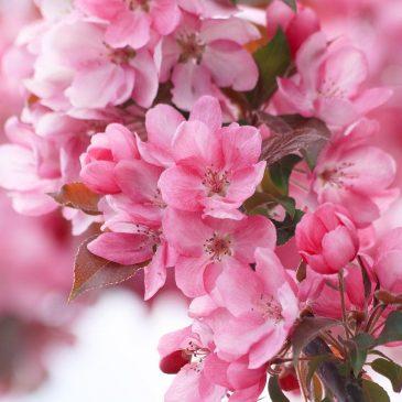 Сакура — красочное явление природы