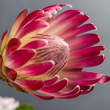 Тропическая красавица — протея